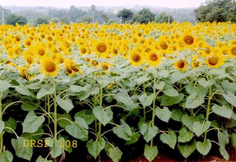 Sunflower variety DRSF-108