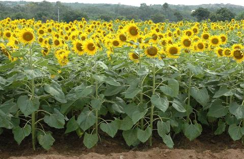 Sunflower variety DRSF-113
